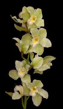 Cymidium Bright Green 12 Plus Blooms Orchids. - http://yourflowers.us/cymidium-bright-green-12-plus-blooms-orchids/