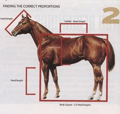 Step 2. There's a horizontal line above the topline; a vertical line going down to the ground from above the croup down the outside of the back leg; and a vertical line going down in front of the withers. Keep in mind the horse's proportions. Measure the head from the poll to muzzle. You can find that rough length in different parts of the horse: from withers to croup, from elbow to coronet, etc.From The American Quarter Horse Journal. Illustrations by Rushe Hudson