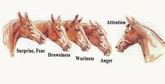 Horse ears can speak to us Horse Behavior, Horse Information, Horse Care Tips, Horse Anatomy, Horse Facts, All About Horses, Horses And Dogs, Horse Quotes, Horse Drawings