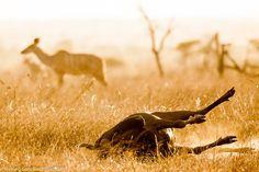 Gnou à terre. Au fond, un Kudu femelle.