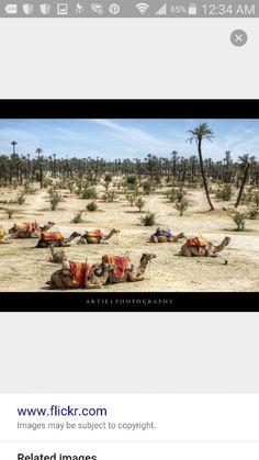 Waiting camels