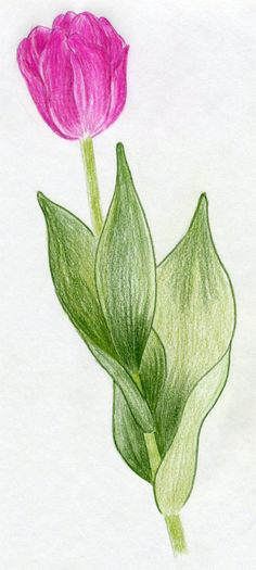 tulip leaves - Google Search