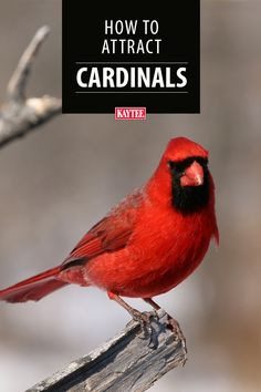 Are you looking to attract more of those beautiful bright red Northern Cardinals to your yard? We have compiled the best tips and tricks to help these beautiful birds find your feeders. Pretty Birds, Cute Birds, Beautiful Birds, Birds For Kids, Bird Facts, Cardinal Birds, Australian Birds, Funny Birds, How To Attract Birds