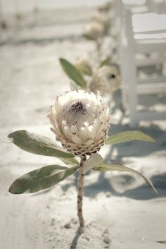 Use large, single flowers like this Protea or even sunflowers to line your beach wedding aisle! For more ideas visit: http://www.beachwedding-guide.com/beach-wedding-ceremony-decor.html