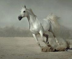 Arabian horse. Photo by. Wojtek Kwiatkowski
