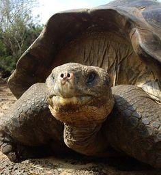 Giant Galapagos Tortoise. Tartaruga gigante de Galápagos na Estação de Pesquisa Charles Darwin, Puerto Ayora, Santa Cruz Island. Vacations Galápagos.