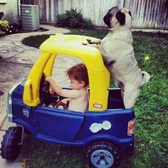 Pug back seat driver