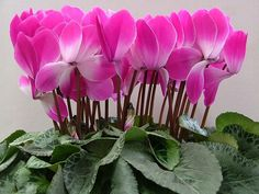 Cheap seed planter, Buy Quality bonsai soil directly from China bonsai seedlings Suppliers: Cyclamen Seeds ,The bonfire flowers, Flower Seeds Bonsai Seeds - 20 Seed particles Bonsai Soil, Bonsai Seeds, Amazing Flowers, Purple Flowers, Beautiful Flowers, Potted Plants, Indoor Plants, Seed Planter, Zinnias