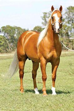 """Fantastic Frenchman""  Gorgeous Palomino Quarter Horse"