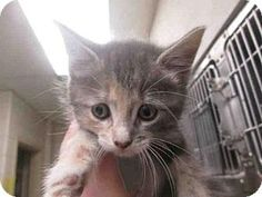 Maryland Heights, MO - Domestic Mediumhair. Meet SALLY, a kitten for adoption. http://www.adoptapet.com/pet/15937383-maryland-heights-missouri-kitten