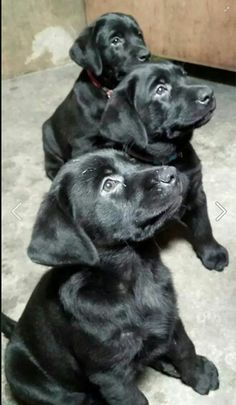 Everything we all adore about the Friendly Labrador Retriever Puppy Black Lab Puppies, Cute Puppies, Cute Dogs, Dogs And Puppies, Doggies, Labrador Puppies, Corgi Puppies, Puppy Care, Pet Puppy