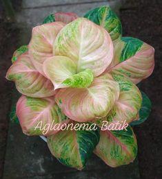 Types Of Succulents Plants, Foliage Plants, Cool Plants, Planting Succulents, Garden Plants, House Plants, Shade Garden, Best Indoor Plants, Exotic Plants