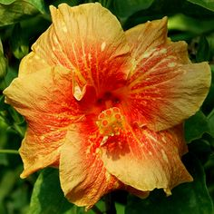 Tropical Hibiscus 'Freckle-Faced Boy'