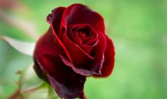 Beautiful rose flower picture