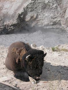 Bizon near mud pot in Yellowstone National Park, Wyoming 2005