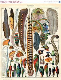 SPRING SALE 20% Bird Feather Art Print - Natural History Antique Illustration - Woodland Forest Art - Scientific Illustration Vintage Print. $24.00, via Etsy.