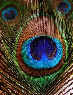 peacock feather-looks like the face of a bear or dog?#Repin By:Pinterest++ for iPad#