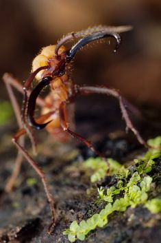 The Army Ant originated from Africa and South America. They have two phases: nomadic (wandering) and stationary that constantly cycle. They eat insects, small mammals, and spiders. When the size of the nest gets too big the ants separate to form new nests every three years.