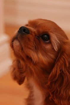 The many things we adore about the Playfull Cavalier King Charles Spaniel Puppy… Die vielen Dinge, die wir am Playfull Cavalier King Charles Spaniel Puppy lieben Cavalier King Charles Blenheim, King Charles Puppy, King Spaniel, Spaniel Puppies, Cocker Spaniel, Cute Puppies, Cute Dogs, Sweet Dogs, Animals Beautiful