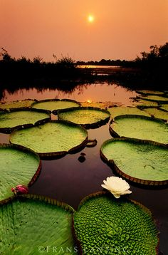 Giant water lilies at sunset, Victoria Regia, Paraguay River, Pantanal, Brazil. Photo by Fran Lanting.