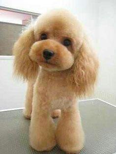 Poodle adorablr,,,