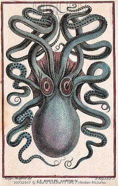 Historical illustration of Common octopus (Octopus vulgaris) Pierre Denys de Montfort engraving from 'Histoire Naturelle Generale et Particuliere des Mollusques', 18011802.
