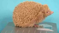 Island of albino hedgehogs  Considering the lack of wild mammals in the Channel Islands (when compared to the UK), Alderneys Blonde Hedgehogs are a pretty cool oddity to add to Oddees list of albino animals!