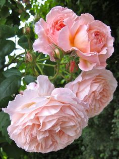 """""""A Shropshire Lad"""" Rose from David Austin Roses. Roses David Austin, David Austin Rosen, David Rose, Romantic Roses, Beautiful Roses, Beautiful Gardens, Exotic Flowers, Pretty Flowers, Pink Flowers"""