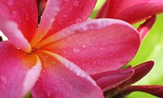 Tropical pink plumeria...my favorite smell in  the world!
