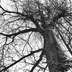 ᗷᒪᗩᑕK ᗩᑎᗪ ᗯᕼITE #sorthvitt #bw #bnw #blackandwhite #igers_bnw #bnw_norway #ig_global_bw #tree #eik #oac #tree_of_life #tronderbladet #melhus #melhusbankenfebruar #natur #nature #ilovenorway #instanature #livetstre #lifeisgood