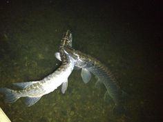 Pike eating another pike http://www.pinterest.com/shorrobi/extreme-fishing-adventures/