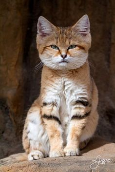 The sand cat (Felis margarita), also known as the sand dune cat, is the only cat living foremost in true deserts. I Love Cats, Big Cats, Crazy Cats, Cool Cats, Cats And Kittens, Siamese Cats, Pretty Cats, Beautiful Cats, Animals Beautiful