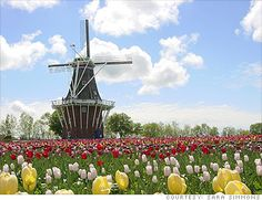 I visited Holland when I was around 11 years old but I remember the trip vividly.  I went when the tulips were in full bloom and was stunned by the multitude of varieties.  I still have my handmade wooden clogs but I regret that I did not get to experience the tulip festival.