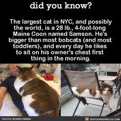 I thought we had a big one when our Maine Coon was 20 pounds (*and not overweight). I love this breed for so many reason.