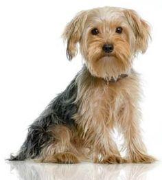 Yorkshire Terriers | Yorkshire terrier