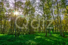 Qdiz Stock Photos | Autumn Birch Trees with Yellow Foliage,  #autumn #background #bark #beautiful #beauty #birch #birchwood #black #branch #bright #colorful #day #environment #flora #foliage #forest #freshness #grass #green #grove #landscape #leaf #leaves #life #light #lush #morning #multicolored #natural #nature #nobody #outdoor #outdoors #park #pattern #plant #scenic #season #sunlight #sunny #tree #trunk #white #wild #wood #woodland