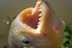 Carnivorous #Fish Attacked Over 70 Swimmers in #Argentina on Christmas Day | By: Lauren Saccone