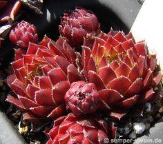 Sempervivum globiferum Red Gold