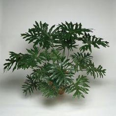 non toxique beaucarn a pied d 39 l phant plantes vertes et fleurs pinterest. Black Bedroom Furniture Sets. Home Design Ideas