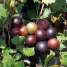 Black Cowart Muscadine - Female Scuppernongs | Male Scuppernongs | Female Muscadines | Male Muscadines - Willis Orchard Company