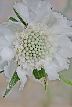 White Scabiosa, pincushion flower