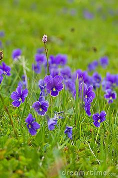 Wild violet at mountain slope, various types of butterfly caterpillars treat the leaves as a food source