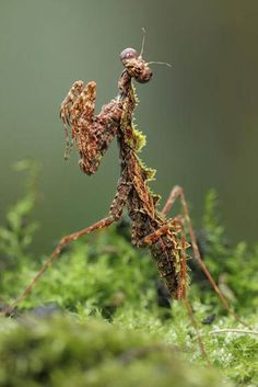 Different Praying Mantis Species | STRANGE INSECTS - PRAYING MANTIS USING MOSS AS CAMOUFLAGE - BORNEO