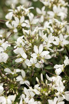 Senorita+Blanca®+-+Spider+Flower+-+Cleome+hybrid