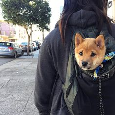 This Shiba Inu puppy is ready to go places! Shibe Doge