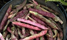 Article: For shelling beans, try dwarf 'Lingua di Fuoco'. Growing Beans, Best Beans, Edible Garden, Dwarf, Tasty, Beef, Recipes, Homesteading, Food