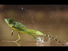 'Jesus Lizard' First Walked on Water in Wyoming : Discovery News