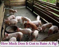 "How Much Does It Cost to Raise A Pig?    Many new homesteaders are researching whether raising a pig is cost effective are asking ""How much does it cost to"