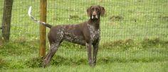 De Duitse Staande Hond is een jachthond met uitstekende vaardigheden in zowel het veld als op water. Ze zijn goed in balans met een elegante kop en het magere lichaam. Dit ras is ontstaan in de 19de eeuw in Duitsland door jagers, die honden nodig hadden die de mannen op de voet konden volgen.