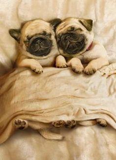 sleepy pugs <3